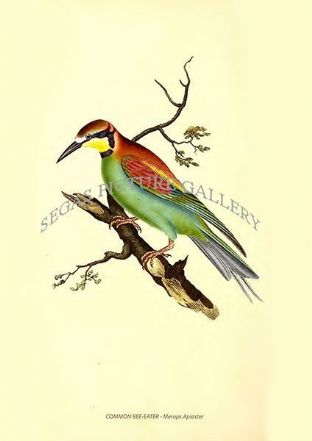 COMMON BEE-EATER - Merops Apiaster
